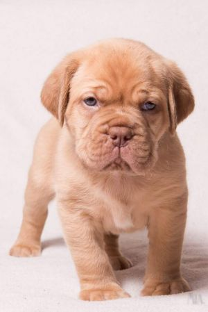 Dogue De Bordeaux valpar