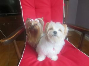 Biewer Yorkshire Terrier 1